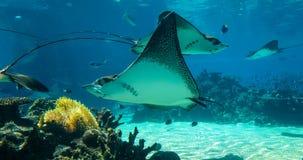 Stingway swimming Shark Bay, Sea World, Gold Coast Australia stock footage