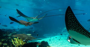 Stingway swimming Shark Bay, Sea World, Gold Coast Australia stock video