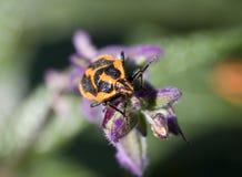 Stink beetle. Macro Stock Image
