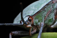 Stink Bug Royalty Free Stock Image