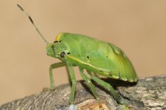 Stink Bug. Photo of the nymph of a stink bug Royalty Free Stock Photography