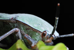 Stink Bug Stock Images