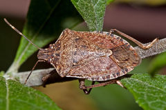 Stink Bug Royalty Free Stock Photo