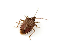 Free Stink Bug Stock Photo - 18618610