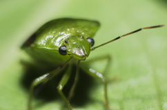 Stink bug. Close up of a stink bug royalty free stock image