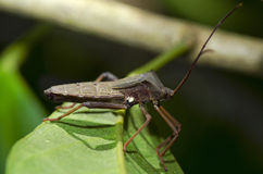 Stink bug. Perched on a leave Stock Photo
