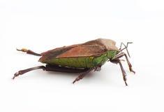 Stink bug Royalty Free Stock Photo