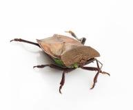 Stink bug Royalty Free Stock Image