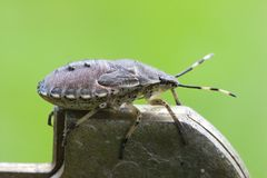 Stink bug Stock Photos