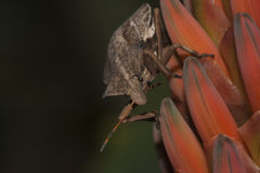 Stink Bug on Aloe Royalty Free Stock Photography