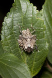 Stink bug with babies. Macro of a stink bug on leaf protecting babies Stock Photos