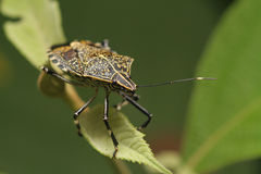 Stink bug Royalty Free Stock Photography