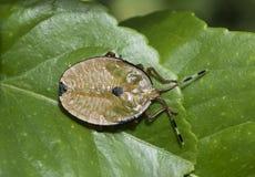 Stink bug, or bronze orange bug royalty free stock photo