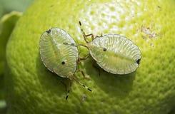 Stink bug, or bronze orange bug stock photo