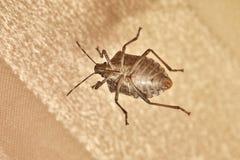 Free Stink Bug Closeup Stock Image - 180791101