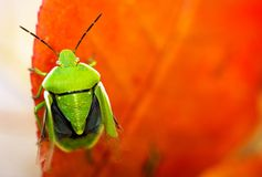 Stink Bug Closeup Royalty Free Stock Photos
