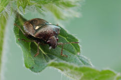 Stink bug. A stink bug is cooling Royalty Free Stock Photography