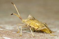 Stink bug Coreus marginatus Royalty Free Stock Image