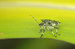 Stink bug on corn leaf. Stink bug is standing on corn leaf Royalty Free Stock Photo