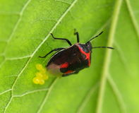 Stink Bug Depositing Eggs Stock Images
