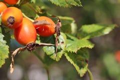 Stink bug on dog rose fruits Royalty Free Stock Photo