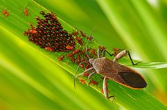 Stink bug , egg and babies in the park. S Royalty Free Stock Photos