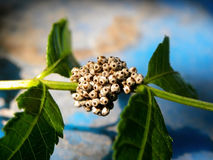 Stink Bug eggs 3 Stock Photography