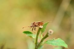 Stink bug in the garden Royalty Free Stock Photography