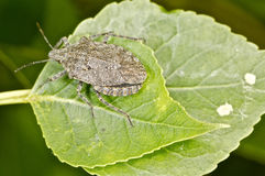 Stink bug on a green leaf.  Stock Image