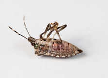 Stink bug lying on back. Stink bug or Shield bug lying on its back with its legs in the air royalty free stock photo