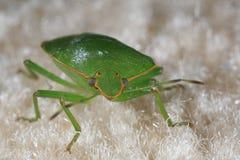 Stink bug macro. Closeup of a green stink bug Royalty Free Stock Image