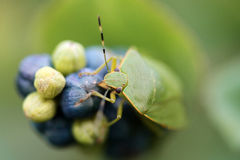 Stink Bug on Mile-a-minute Vine Royalty Free Stock Images