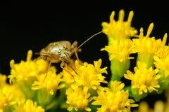 Free Stink Bug On Goldenrod Flowers Stock Photo - 40607650