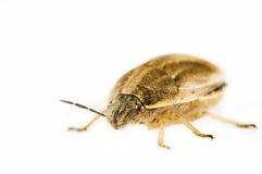 Stink bug portrait isolated on white Royalty Free Stock Image