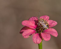 Stink bug and red flower Stock Photo