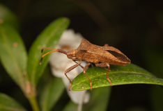 Stink bug resting on leaves Royalty Free Stock Photography