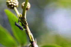 Stink bug on the stem. Royalty Free Stock Photos