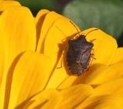 Stink Bug On Sunflower Royalty Free Stock Photography