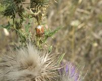 Stink bug on thistle Royalty Free Stock Images