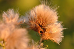 Stink bug on thistle Stock Image