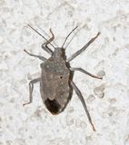 Stink bug on the wall. macro. In the park in nature Stock Photography