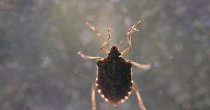 Stink bug closeup on the window