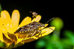 Stink bug. On a yellow flower Royalty Free Stock Photos
