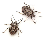 Stink Bugs Royalty Free Stock Photography