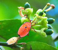 Stink bugs or Bronze Orange bugs Stock Photos