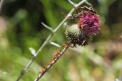Stink bugs and orange nymph insects on thistle Stock Photos