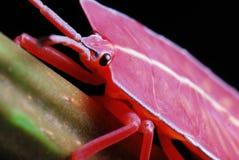 Stink de Nimf van het Insect Stock Afbeeldingen