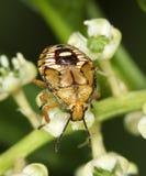 Stink de Nimf van het Insect Royalty-vrije Stock Fotografie