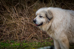 The Stink Eye From A Great Pyrenees Herding Dog Stock Image