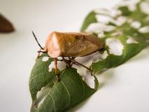 Stink insect en blad Royalty-vrije Stock Foto's